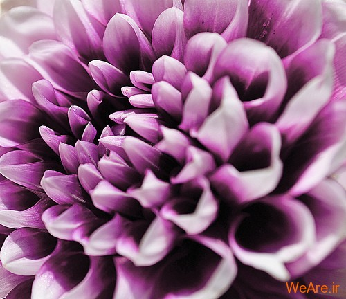 عکس گل های زیبا (11)