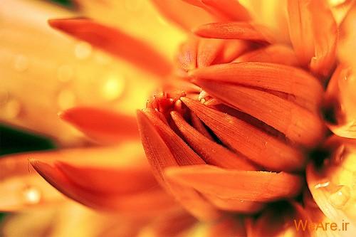 عکس گل های زیبا (13)