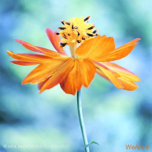 عکس گل های زیبا (1)