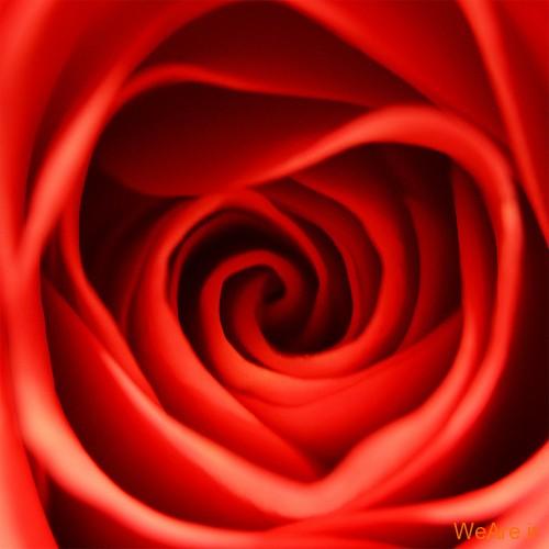 عکس گل های زیبا (8)