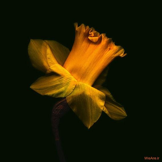 نرگس زرد