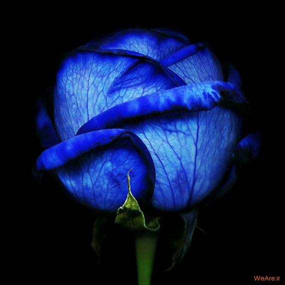 رز آبی