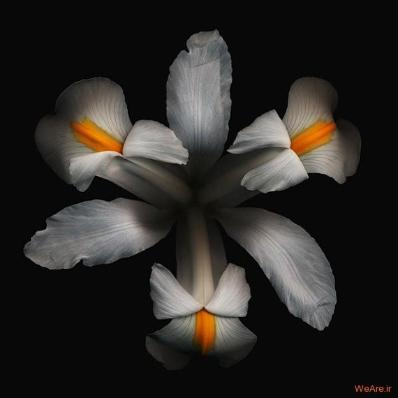 زنبق سفید