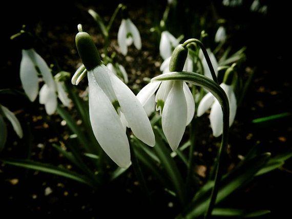 گل حسرت, گل امید, گل Snowdrops, Snowdrops  (3)