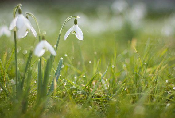 گل حسرت, گل امید, گل Snowdrops, Snowdrops  (4)
