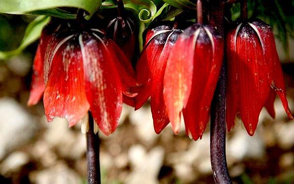 گل لاله واژگون