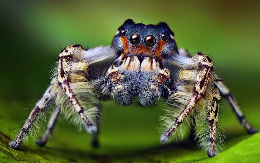 تصاویر ماکرو از عنکبوت های پرشی ناز و بامزه