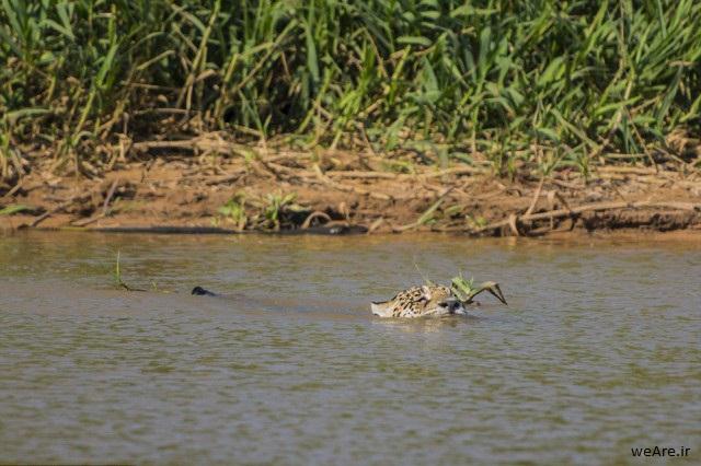 momen-menakjubkan-jaguar-menerkam-seekor-caiman-12-640x436