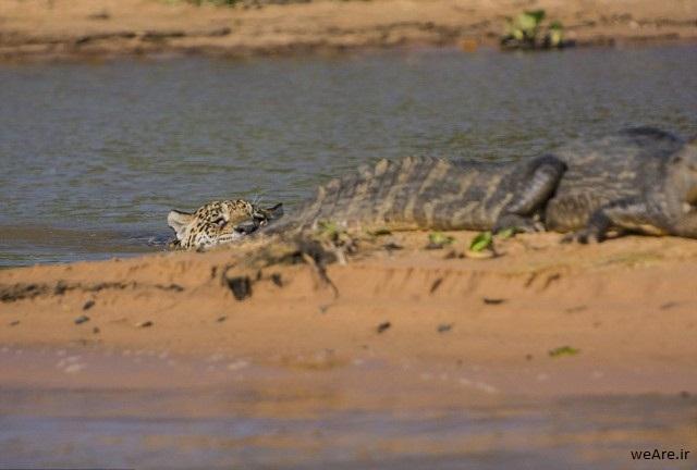 momen-menakjubkan-jaguar-menerkam-seekor-caiman-13-640x442