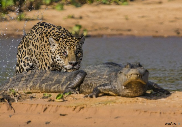 momen-menakjubkan-jaguar-menerkam-seekor-caiman-14-640x457
