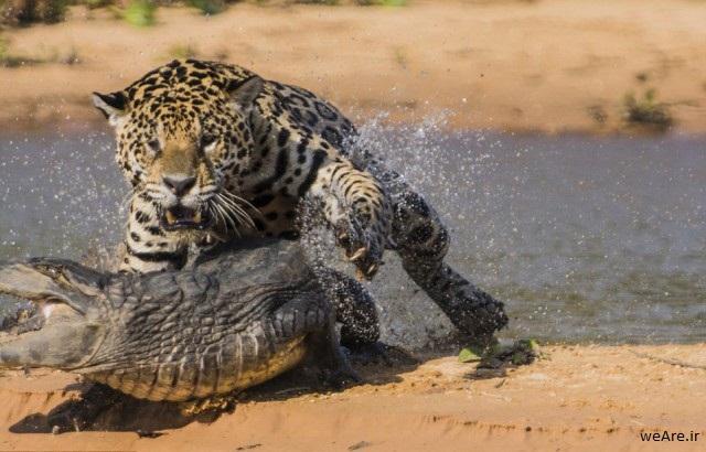 momen-menakjubkan-jaguar-menerkam-seekor-caiman-15-640x420
