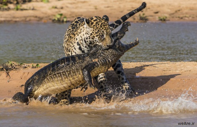 شکار خیلی عجیب یوزپلنگ
