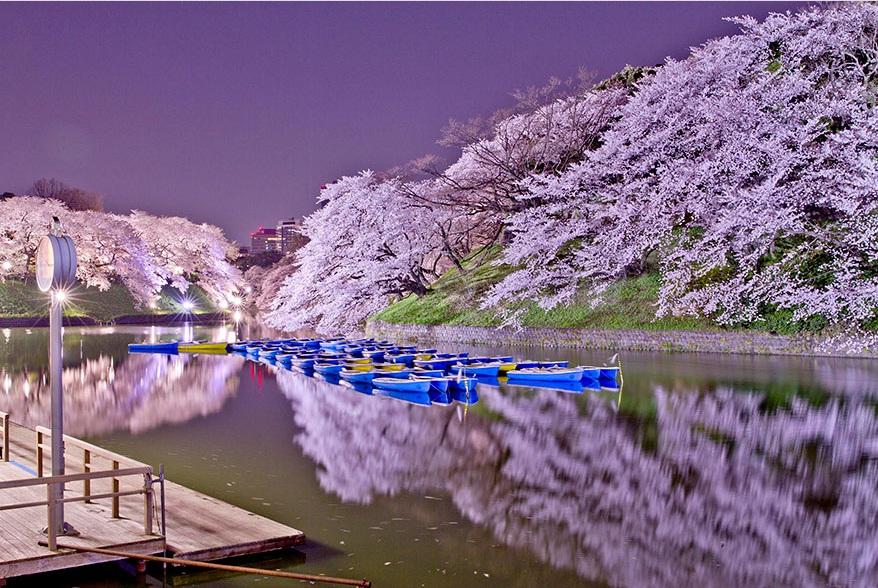 ساکوراها (شکوفه های گیلاس)، ژاپن ۲۰۱۴