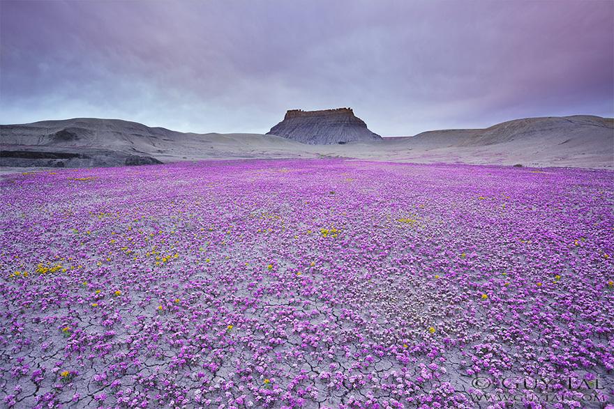 بیابان یوتا، بیابانی با گل های رنگارنگ