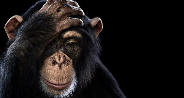 شمپانزهها به هم چه میگویند؟ (اینفوگرافیک)