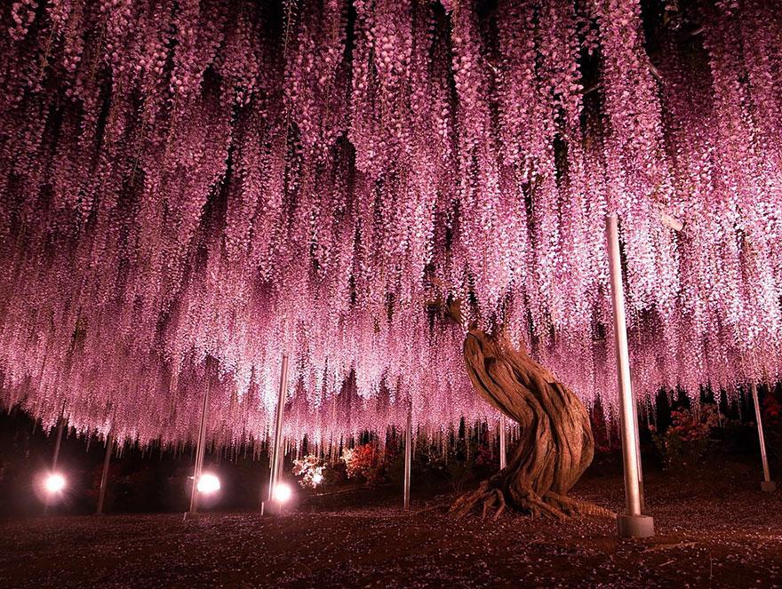 گیاه ویستریای ۱۴۴ ساله در ژاپن
