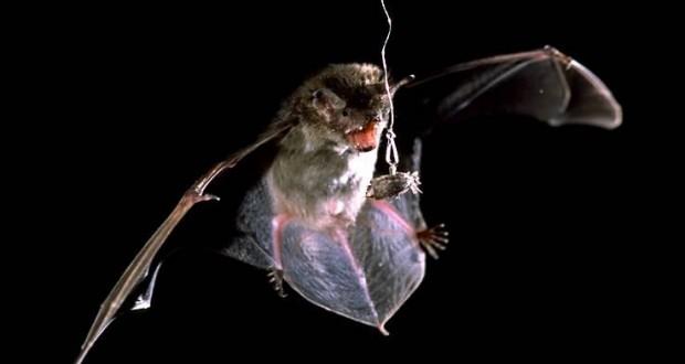 شب پره هایی که روی رادار خفاش ها پارازیت می اندازند