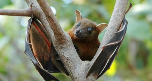 ابولا، خفاش ها و داستان پرواز