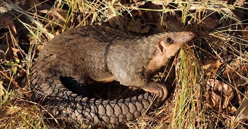 پانگولین تنها پستاندار فلسدار که تا منقرض نشوند از خوردنشان دست نمیکشیم
