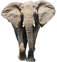 هوش فیلها چقدر است؟