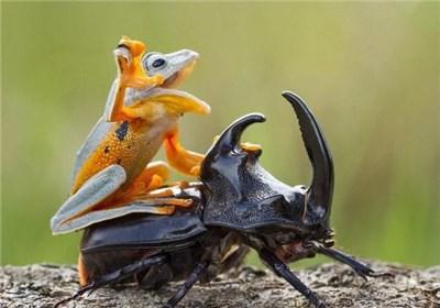کوچکترین نمایش سوارکاری: سوسک سواری یک قورباغه