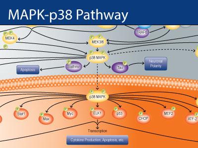 نقش p38 MAPK در التهاب