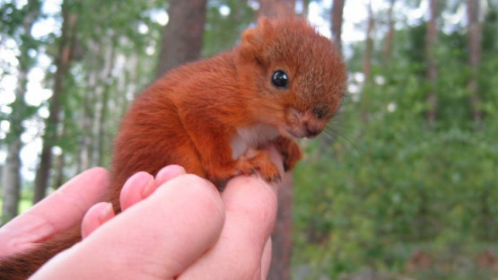 adopted-wild-red-squirrel-baby-arttu-finland-coverimage