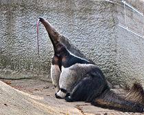 210px-Myrmecophaga_tridactyla_-Detroit_Zoo,_Michigan,_USA-8a