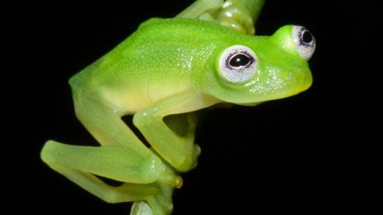 kermit-frog-lookalike-discovered-diane-bare-hearted-glassfrog-hyalinobatrachium-dianae-costa-rica-coverimage