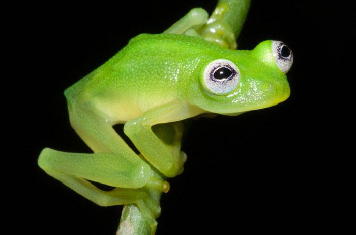 کشف کرمیت قورباغه (قورباغه شیشه ای) در کاستاریکا