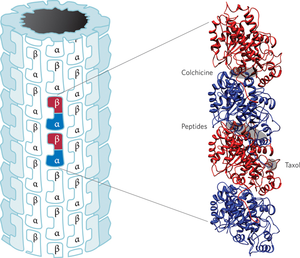 هیبریدهای دارویی مبتنی بر بازدارنده های توبولین در درمان سرطان