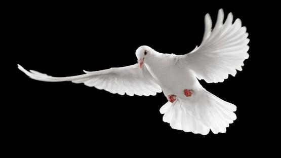 HD-Flying-Pigeon-Balck-Background