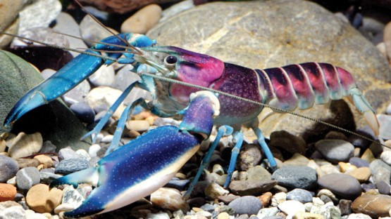 new-crayfish-species-discovered-cherax-pulcher-christian-lukhaup-indonesia-coverimage