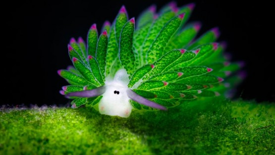 leaf-sheep-sea-slug-costasiella-kuroshimae-coverimage