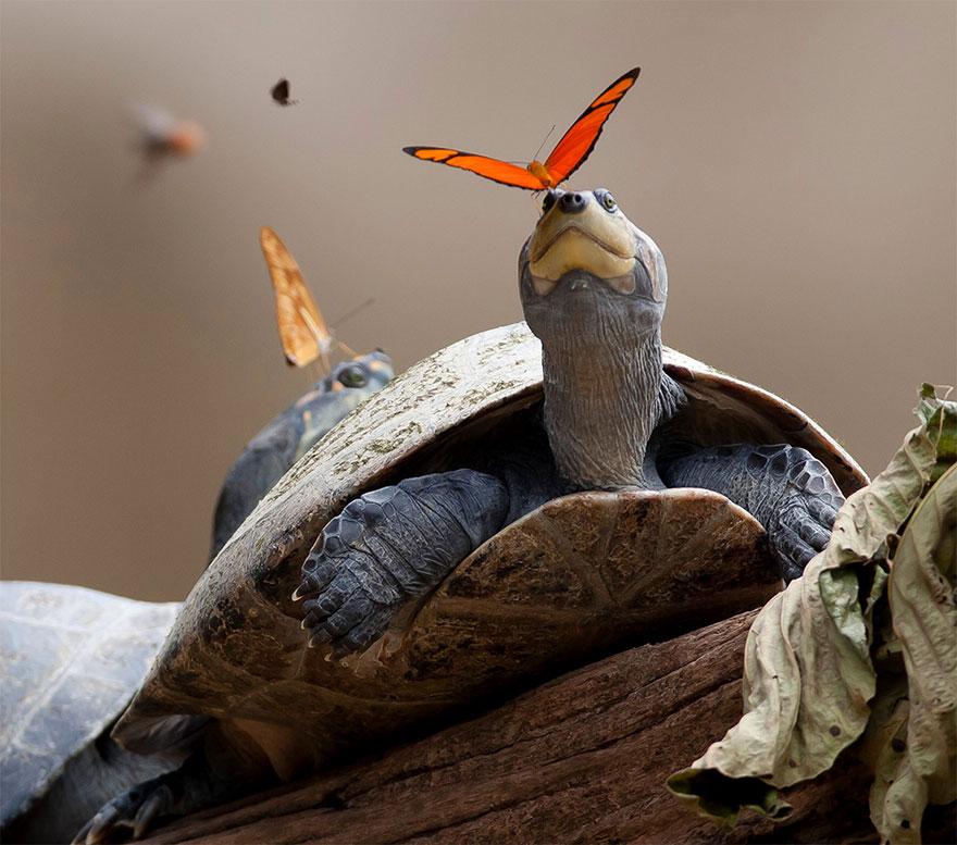 تغذیه پروانه از اشک لاک پشت و تمساح