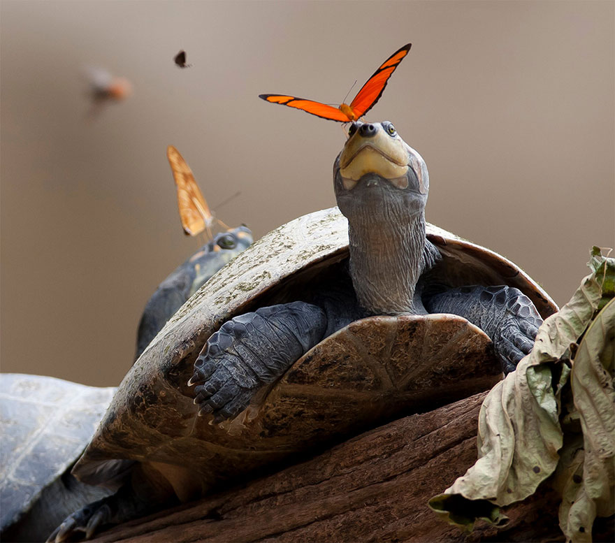 butterflies-drink-turtle-tears-lacryphagy-ecuador-10