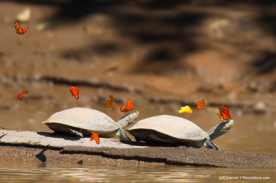 butterflies-drink-turtle-tears-lacryphagy-ecuador-6