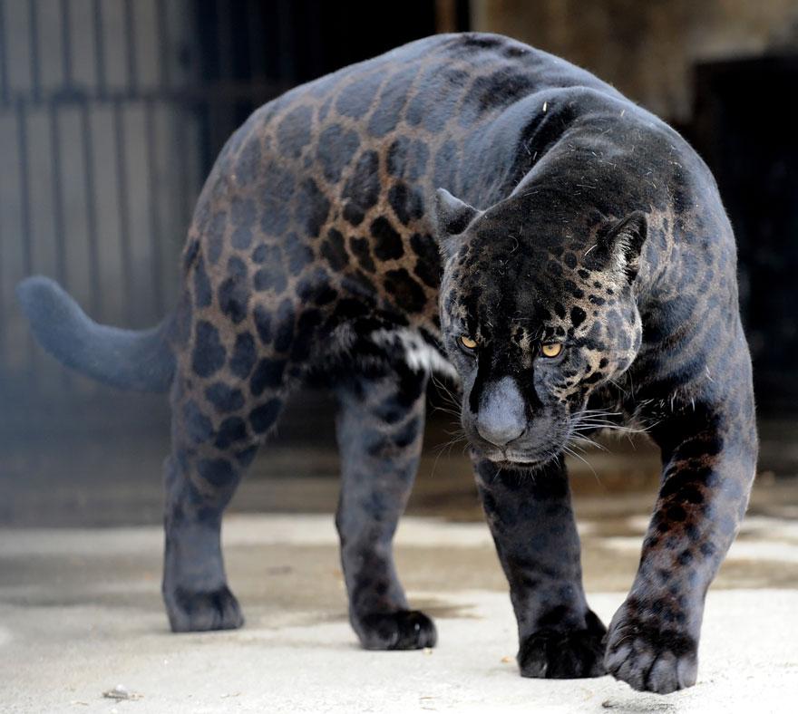 unusual-hybrid-animals-161
