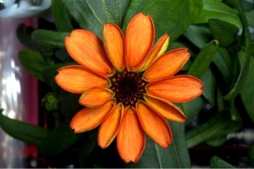 رشد اولین گل در فضا توسط ناسا