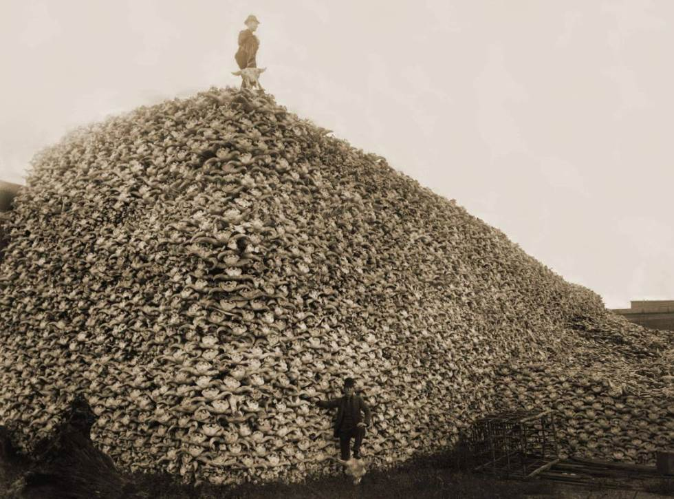 interesting-pictures-bison-extinction