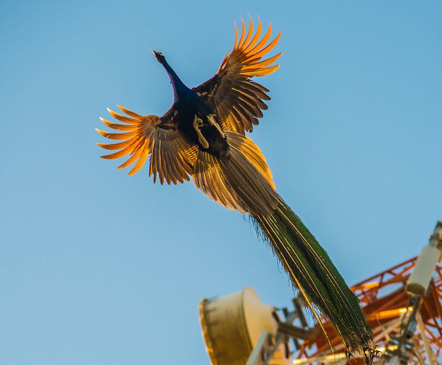 تصاویری ناب از طاووس در حال پرواز