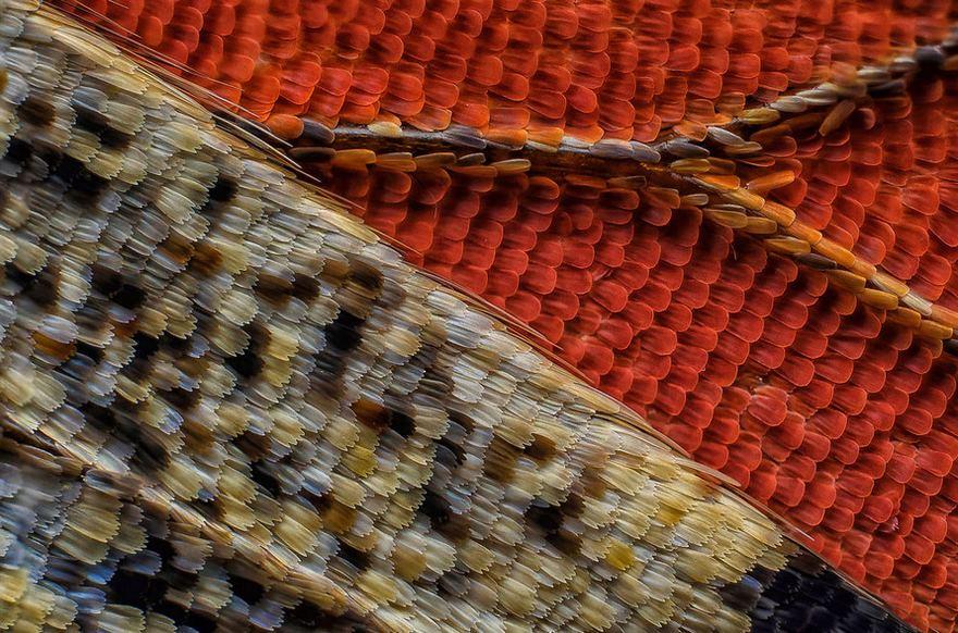 قسمت زیرین بال یک پروانه (رتبه یازدهم را کسب کرده است)