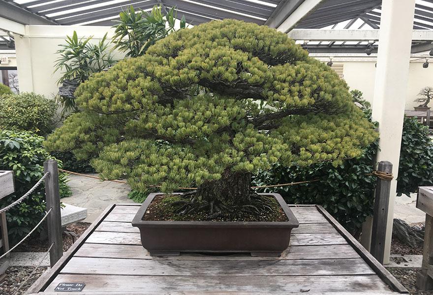 درخت بنسای 391 ساله