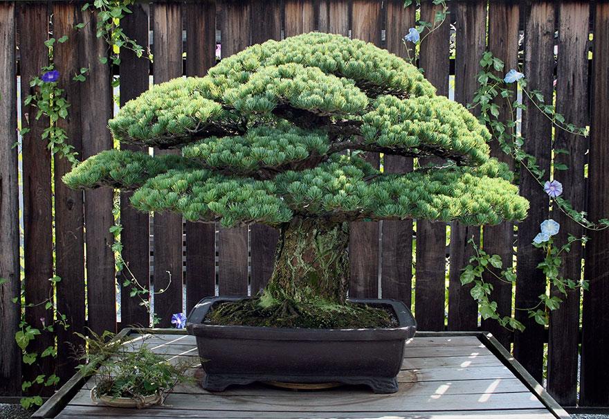 سرگذشت جالب درخت بنسای ۳۹۱ ساله