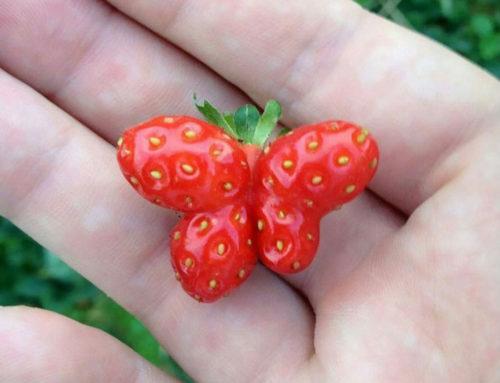 میوه هایی که شبیه همه چیز هستند جز میوه!