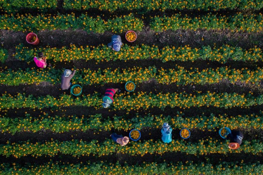 #14 Marigolds : فصل برداشت