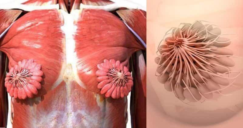 سیستم عضلانی غدد شیردهی پستان زنان