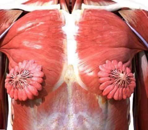 تصویری عجیب اما واقعی از سیستم عضلانی غدد شیری پستان